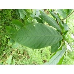 Asimina Triloba 'Belle' - Asiminier ou Paw Paw