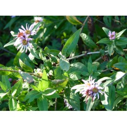 Ampelaster carolinianus - Aster grimpant / arbustif