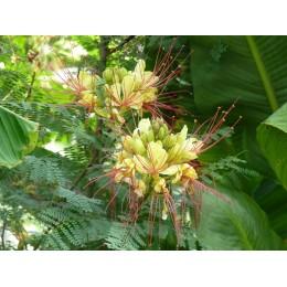 Caesalpinia giliesii - Petit flamboyant