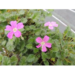 Erodium X variabile 'Bishop's Form' - Erodium