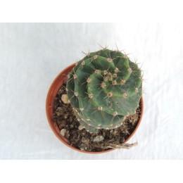 Cereus forbesii var. spiralis - Cactus spirale lévogyre (gauche)