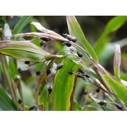 Coix lacrima jobi var. Ma Yuen - Larme de Job  (graines / seeds)