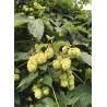 Humulus lupulus 'Fuggle' - Houblon (pour bière)