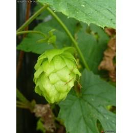 Humulus lupulus 'Hallertau Mitltelfrüh'- Houblon (pour bière)