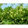 Humulus lupulus 'Chinook' - Houblon (pour bière)