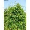 Humulus lupulus 'Prima Dona' - Houblon (pour bière)