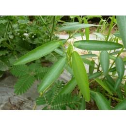 Desmodium gyrans syn. Codariocalyx motorius - Plante qui danse