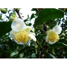 Camellia sinensis - Théhier