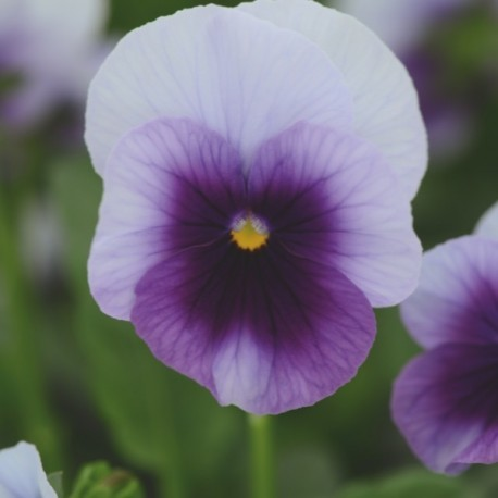 Viola cornuta (alpine) 'Pink Wings' - Pensée à petites fleurs