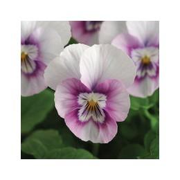 Viola cornuta (alpine) 'Beaconsfield' - Pensée à petites fleurs