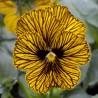 Viola cornuta 'Tiger Eye' - Pensée à petites fleurs