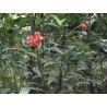 Psychotria elata - Flower lips, lèvres chaudes, Plantes à bisous