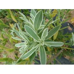 Euphorbia bicolor - Euphorbe panachée (graines / seeds)