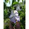 Lathyrus odoratus 'Albutt Blue' - Pois de senteur bleu (Graines / Seeds)