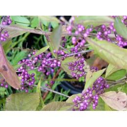 Callicarpa bodinieri 'Profusion' - Callicarpe à fruits violets