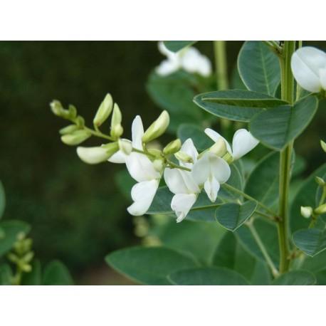 Lespedeza thunbergii 'Alba' - Lespedeza à fleurs blanches