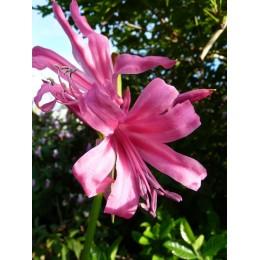Nerine bowdenii 'Zeal Giant' - Nérine de Bowden