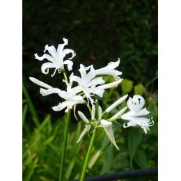 Nerine bowdenii 'Alba' - Nérine de Bowden