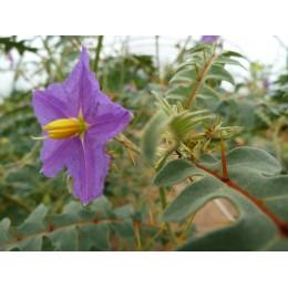 Solanum pyracanthum - Tomate porc épic (Graines / seeds)
