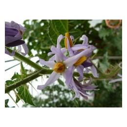 Solanum palinacanthum (Graines / seeds)