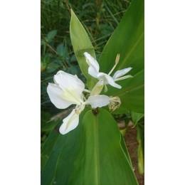 Hedychium coronarium - Gingembre blanc ou papillon, Mariposa (Plant)