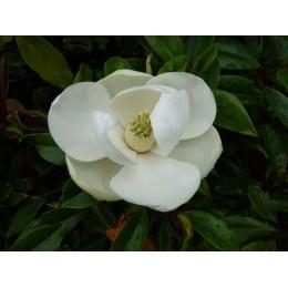 Magnolia grandiflora 'Maulevrier' - Magnolia persistant nain