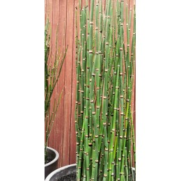 Equisetum hyemale - Prêle d'hiver
