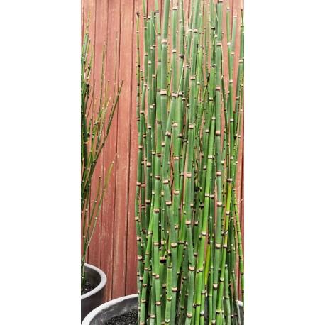 Equisetum hyemale - Prêle d'hiver
