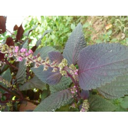 Perilla frutescens 'Chinois Violet' - Shiso (graines / seeds)