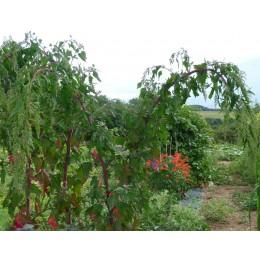 Chenopodium formosanum - Chénopode  (Graines / seeds)