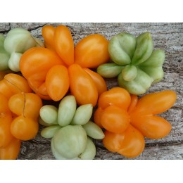 Tomate 'Phil's One' - Solanum lycopersicum (graines / seeds)