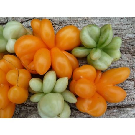 Tomate 'Phil's One' - Solanum lycopersicum (graines / seeds)