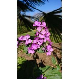 Lunaria annua - Monnaie du pape ou lunaire (plant)