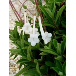 Sinningia tubiflora - Sinningia (P1L)