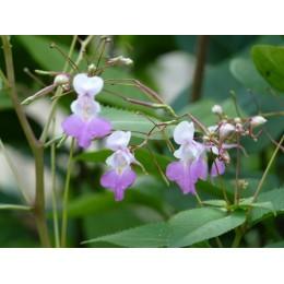 Impatiens balfourii - Fleur qui pète, Impatiens ou Balsamine de Balfour (100 Graines / seeds)