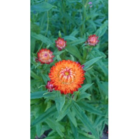 Helichrysum bracteatum - Immortelle (Graines / Seeds)