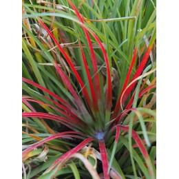 Fascicularia bicolor - Plante ananas du Chili