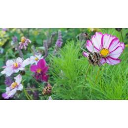 """Cosmos bipinnatus """"Rose mix"""" - Cosmos rose (graines / seeds)"""