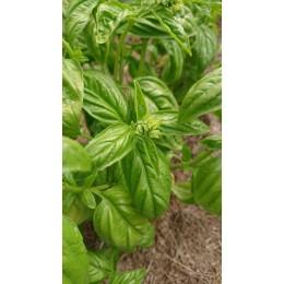 Ocimum basilicum 'Emily' - Basilic  (graines / seeds)