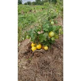Tomate naine 'Gold robin' - pour pots et jardinières  (Graines / seeds)