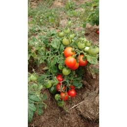 Tomate naine 'Red robin' - pour pots et jardinières  (Graines / seeds)
