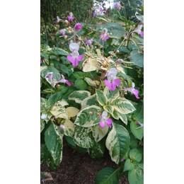 Impatiens balfourii - Fleur qui pète, Impatiens ou Balsamine de Balfour (Graines / seeds)