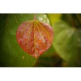 Cercidiphyllum japonicum - Arbre à caramel