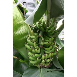 Musa dajiao - Bananier fruitier
