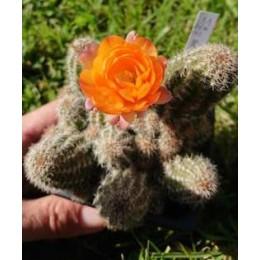 "Chamaecereus sylvestrii H10 - Cactus ""cornichon"" - (cutting - bouture)"