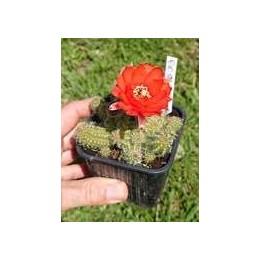 "Chamaecereus sylvestrii H11 - Cactus ""cornichon"" - (cutting - bouture)"