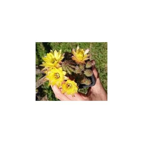 "Chamaecereus sylvestrii H15 - Cactus ""cornichon"" - (cutting - bouture)"