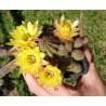 "Chamaecereus sylvestrii H25 - Cactus ""cornichon"" - (cutting - bouture)"