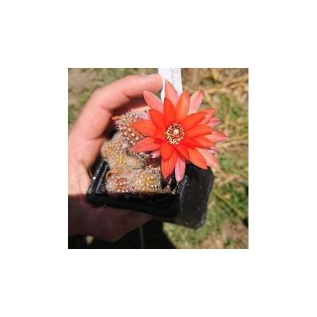 "Chamaecereus sylvestrii H21 - Cactus ""cornichon"" - (cutting - bouture)"