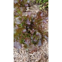 Lactuca sativa 'Belgrade' - Laitue feuille de chêne (Graines/Seeds)